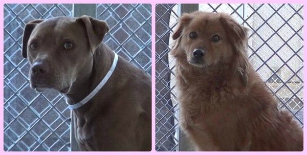 PLZ READ ASAP!! CODE RED! Help save Papa and Ebony. Surrendered to shelter from whence they were adopted 7 years ago. Please share, pledge, foster or adopt. CARSON, CALIFORNIA