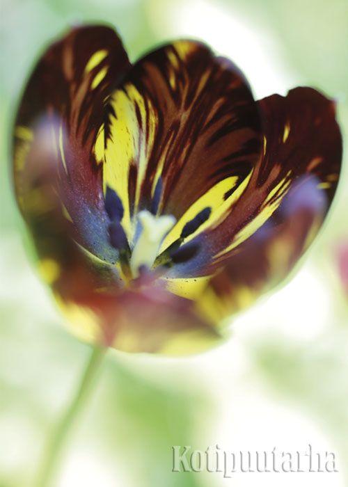Rembrandttulppaani (Tulipa Rembrandt-Ryhmä 'Absalon') www.kotipuutarha.fi