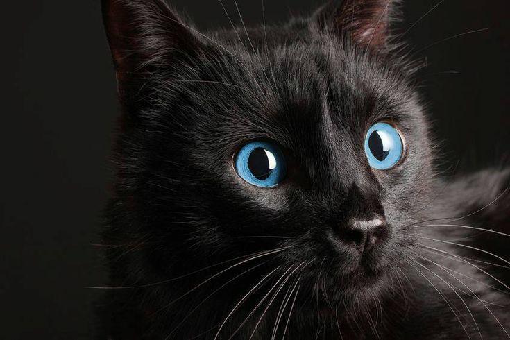Best Pics schwarze Katze Rassen Konzepte Katzen mit großen Ohren können möglicherweise nur über die entzückendsten Lebewesen in der Welt sein. Diese Art von V …