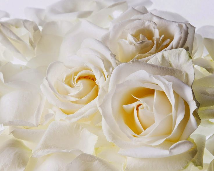 picture of White Roses ~ HD Pictures