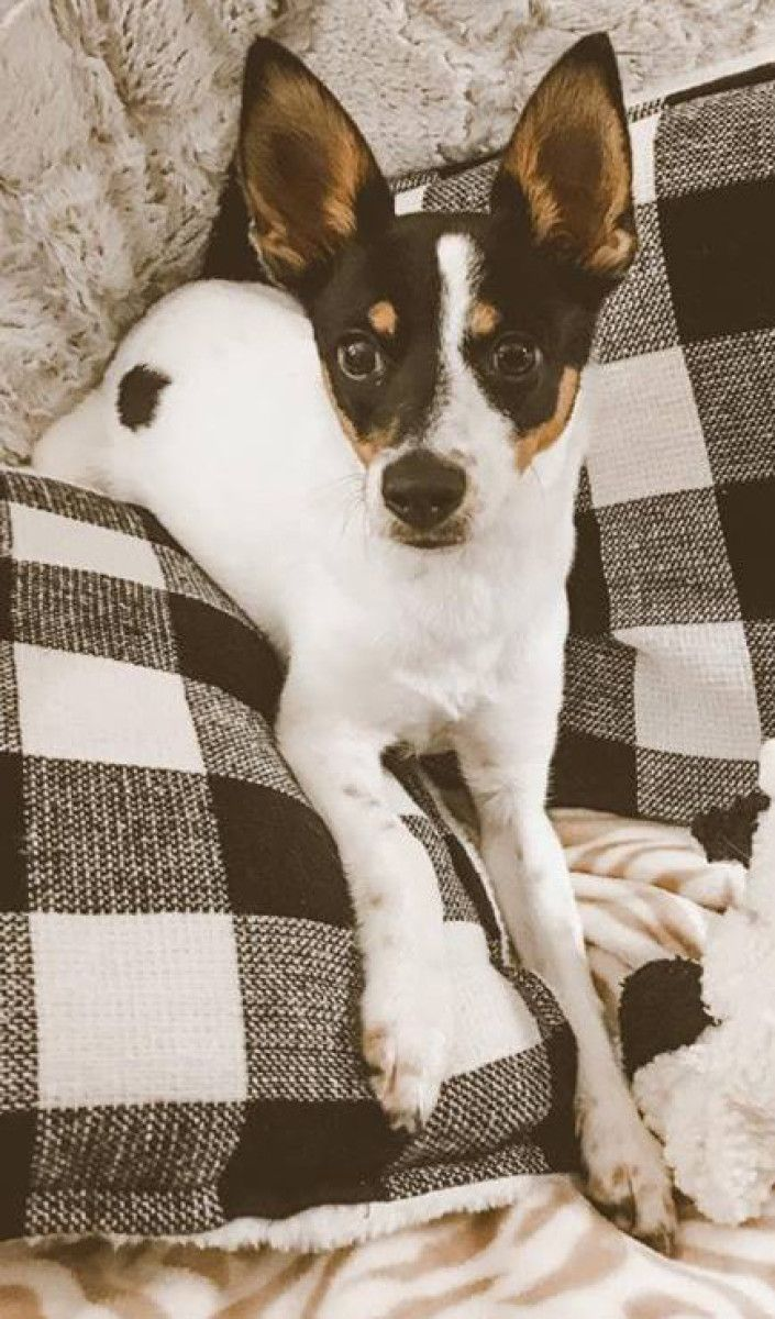 Lil Jack Russell Terrier Dog For Adoption In Savannah Georgia