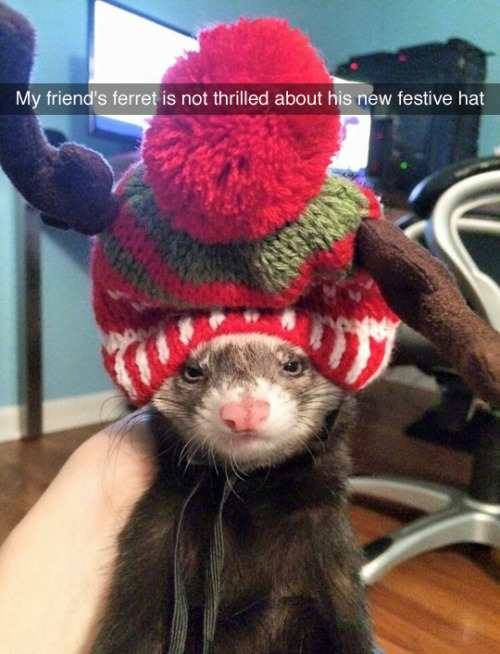 Some ferrets do not enjoy Christmas festivities. #ferrets #Christmas #funny                                                                                                                                                      More