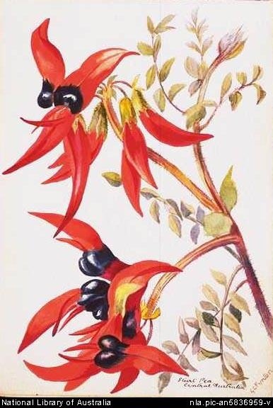 Fenton, G. C.  Sturt pea, Central Australia [picture]  [186-?] 1 watercolour ; 12.8 x 17.5 cm.  From National Library of Australia collection  http://nla.gov.au/nla.pic-an5836959  nla.pic-an5836959