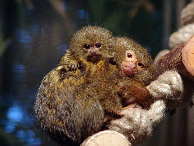 <b>If them being marmosets wasn