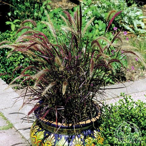 Pennisetum setaceum 'Rubrum' Purple Fountain Grass Red-purple flower spikes from July to September