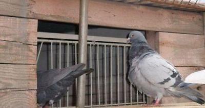 Pigeons Supplies
