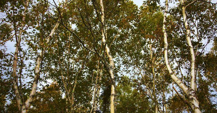 Cuánta agua transporta un árbol desde sus raíces hasta sus hojas en un día. Una planta absorbe una gran cantidad de agua. Más del 90 por ciento del agua que toma una planta se libera en forma de vapor de agua, a través del proceso de transpiración. Un árbol puede liberar hasta 160 galones (604,8 lts) de agua al día a través de sus hojas. En verano, un árbol de arce puede tirar unos 50 galones (189 lts) de agua por hora a ...