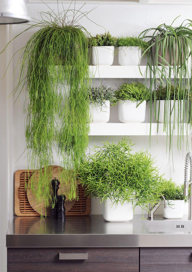 Hippe, schone Rhipsalis verlaagt je stress. In witte potten zorgt het voor een rustig plaatje. Mooi verschillende varieteiten naast elkaar.
