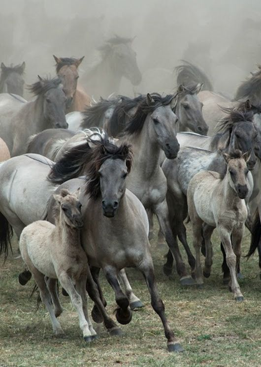 by Karen van Gerner A group of wild horses galloping right in my direction. Location: Germany, Dülmen - maxinjo2 - Google+