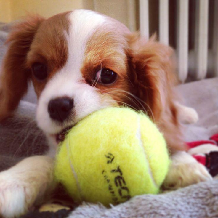 """Charlotte"" King Charles Cavalier tennis ball"