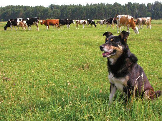 Best Farm Dog Breeds -- GRIT Magazine