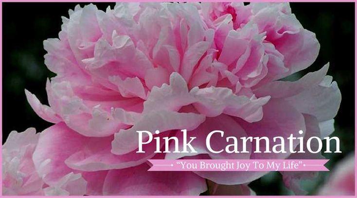 Carnation Meaning: Pink Carnation