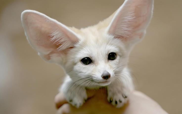 White Desert Fox Amazing Animal S Pinterest