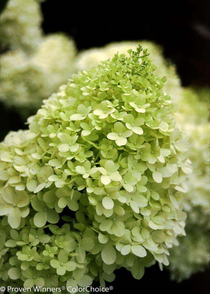 'Limelight'+-+Hardy+Hydrangea+-+Hydrangea+paniculata