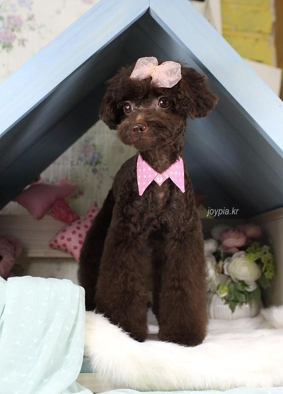 Beautiful Korea Chubby Adorable Dog - 9d3fd4d7d6403a4630b61fab90dc7375--dog-grooming-styles-dog-grooming-tips  Picture_352958  .jpg