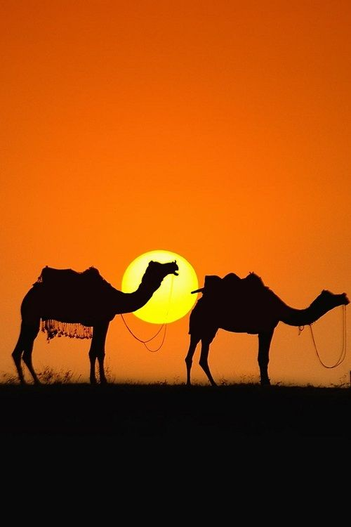 Camels are how the 3 kings arrived at the birth of Jesus