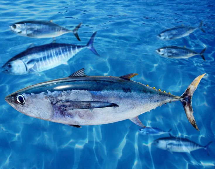 The Yellowfin Tuna is among the larger Tuna species, reaching weights over 180 kg (400 lb), but is significantly smaller than the Atlantic and Pacific bluefintunas, which can reach over 450 kg (990 lb), and slightly smaller than the bigeye tuna and the Southern Bluefin Tuna.