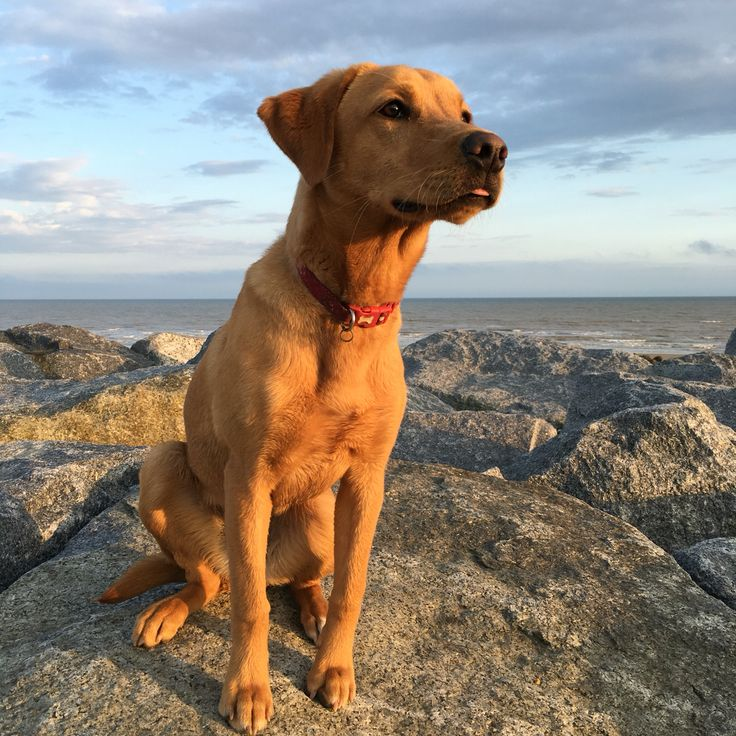 Gorgeous fox red labrador at sunset