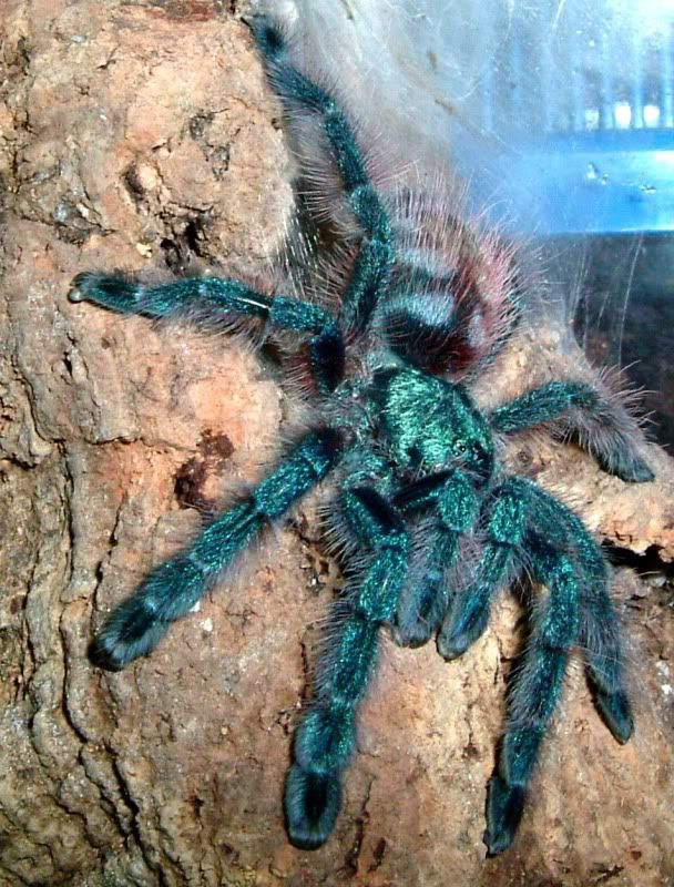 Live Tarantulas for Sale | Beautiful Adult Tarantulas for sale - CornSnakes.com Forums