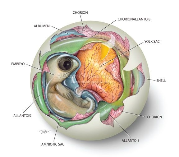 Sea turtle embryo anatomy -- Included in book, Sea Turtles of the World, by James Spotilla