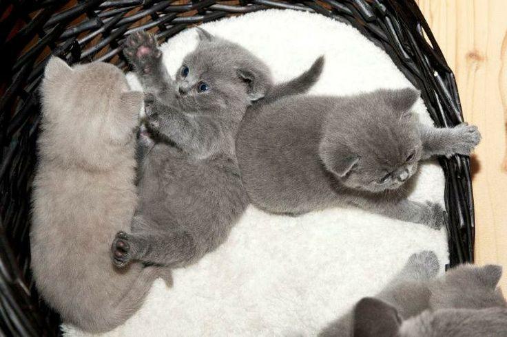 süße BKH Kätzchen zu verkaufen