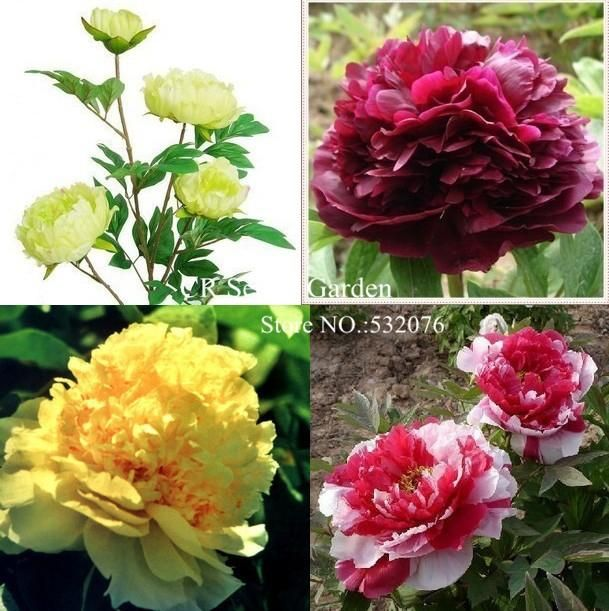 10 seeds bag chinese peony,peony root seeds, Chinese Pink Golden Purple Duble Colors Peony Flower Seeds