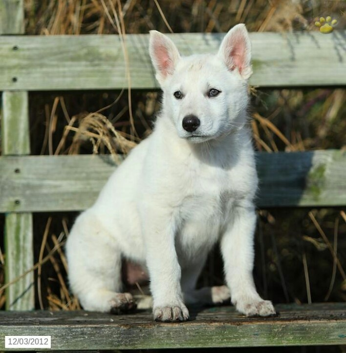 White German Shepherd!!  He is just perfect for me to have!