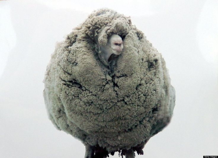 """Shrek,"" New Zealand's most famous sheep, died in June at the age of 16. This merino wether (a castrated male sheep) came to the world's attention in 2004 when he was found in a cave near the city of Otago after being on the lam for six years. He had managed to avoid capture all that time and when he was finally found, he was carrying nearly 60 lbs of untrimmed fleece, nearly six times more than the average merino fleece."