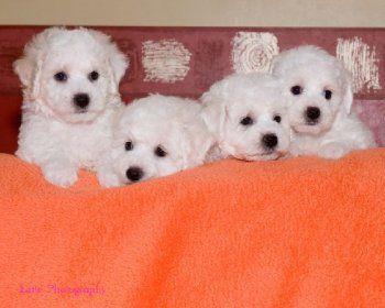 Donde Comprar un Bichon Frise http://www.mascotadomestica.com/criaderos-de-perros/donde-comprar-un-bichon-frise.html