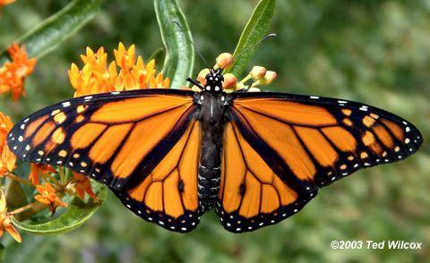 オオカバマダラ Monarch Butterfly male