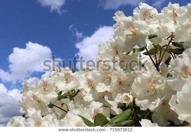 Populaert Billede Pa Shutterstock Det Kan Jeg Godt Forsta D White Rhododendron Royalty Free Stock Photo Id 715073 In 2020 White Flowers Rhododendron Flowers