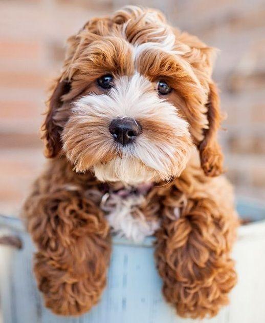 Cocker Spaniel Poodle mix … puppies Puppi…
