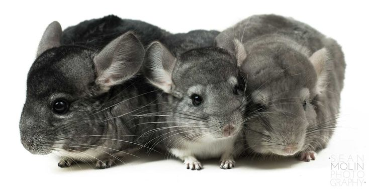 Online chinchilla care: Basic chinchilla advice for smart owners.