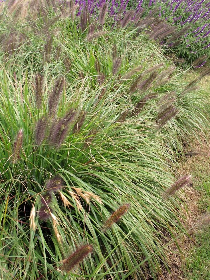 54 best ornamental grasses images on pinterest for Ornamental grass plants