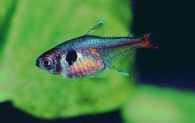 1000+ images about Characidae on Pinterest South america, Fresh ...