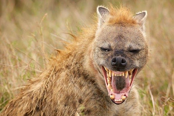 Laughing, spipped and spotted hyena facts are given below. The ...