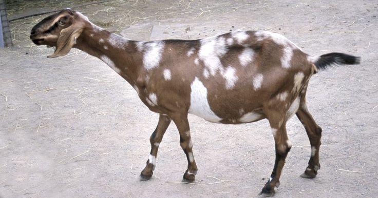 Etapas de la gestación en las cabras. El tiempo de embarazo de una cabra tiene un promedio de 150 días. Esto se conoce como el período de gestación. Para realizar un seguimiento de las etapas del embarazo y predecir con exactitud la fecha límite, es importante conocer el ciclo estral de tu cabra. El ciclo de estro o de celo es el momento en que la hembra permitirá que el macho se ...
