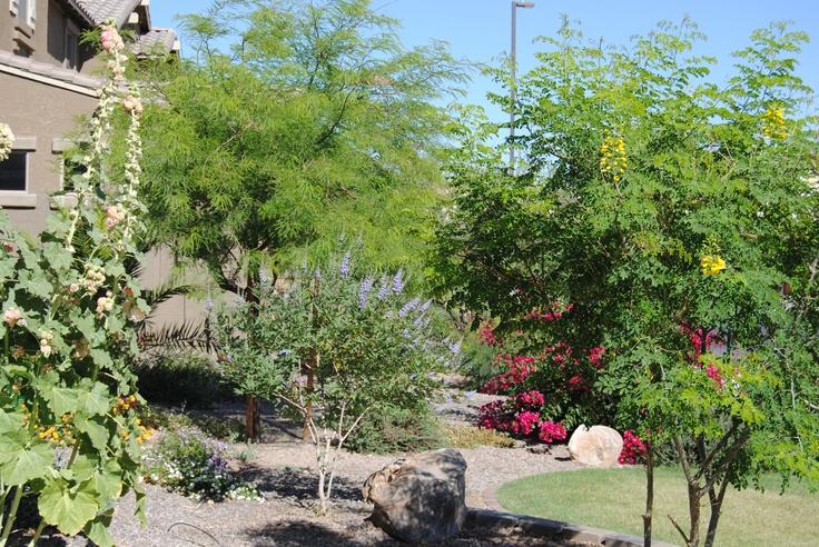 chaste tree blue bougenvilla yellow mexican bird of paradise tree hollyhock my az garden. Black Bedroom Furniture Sets. Home Design Ideas