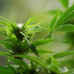 Marijuana and Alzheimer's – How Marijuana Outperforms Drugs for Alzheimer's Disease