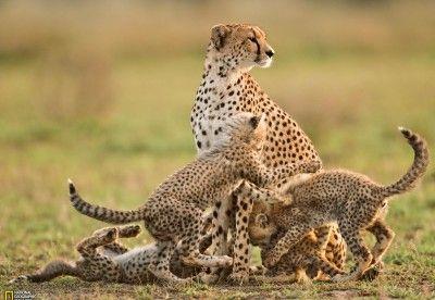 Une femelle guépard surveille les environs, dans le parc du Serengeti (Tanzanie), tandis que ses petits âgés d'une douzaine de semaines se battent.