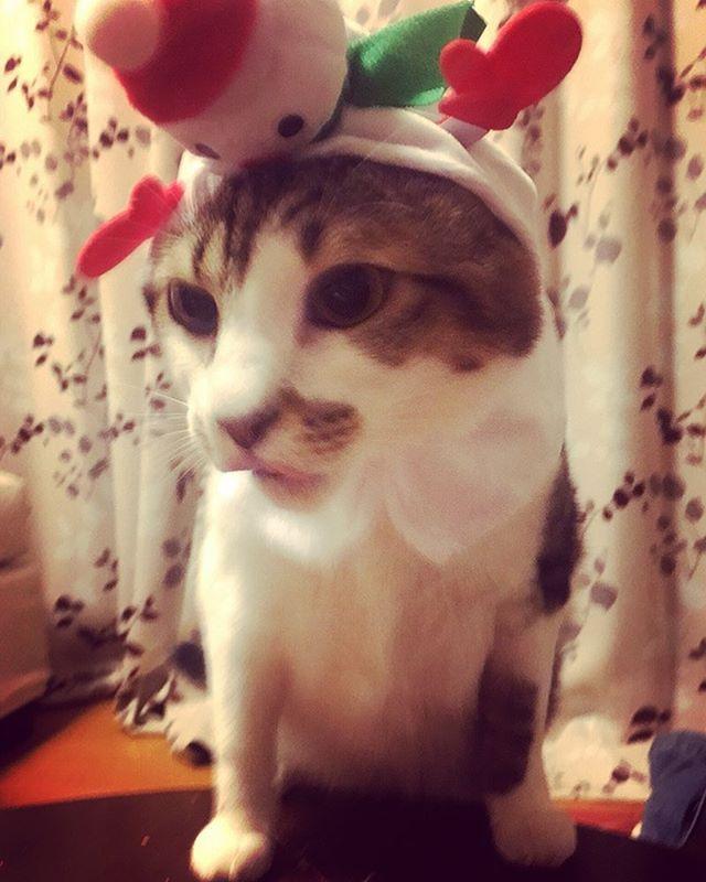 merry Xmas的な👏  #猫 #ねこ #ねこ好き #キジ白 #キジトラ #保護猫 #元野良猫 #和猫 #ねこのきもち #ねこら部 #ペット #アニマル #モデル猫 #黒缶 #愛猫