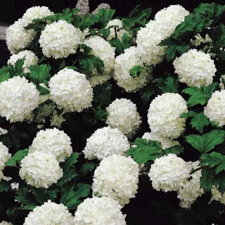 Snowball Viburnum - grows tall and great screen
