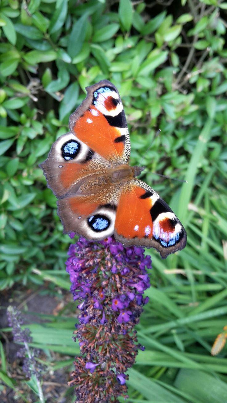 Sommerfugl i haven