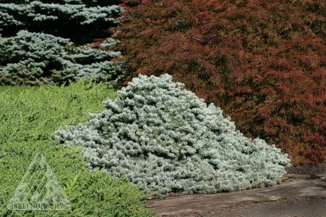 Picea Pungens 'Lundeby's Dwarf' - Steel-blue needles and horizontally-layered branches make 'Lundeby's Dwarf' a neat and reliable landscape conifer that becomes wider than tall with age. A rare form of Colorado Blue Spruce, it stays compact and provides an attractive mounding form that stays in scale, even in small urban and suburban gardens.