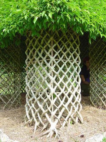 These trees are trained to grow this way.: Gardens Ideas, Ficus Trees, Trees Trunks, Living Ficus, Awesome Gardens, Gardens Things, Trees House, Trees Hut, Living Trees