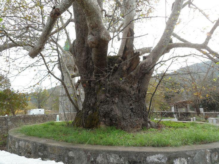 plane tree by Sedat Şener on 500px