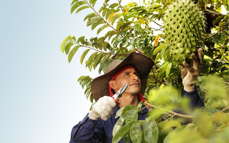 Philippines SOURSOP or GUYABANO exotic fruit! more Filipinos are discovering the nutritious benefits of this fruit, it is making world wide news recently with all of the health benefits the Guyabano has to offer. http://organicpilinuts.com/guyabano-tree-cancer-cure-fruit-plant-philippines/