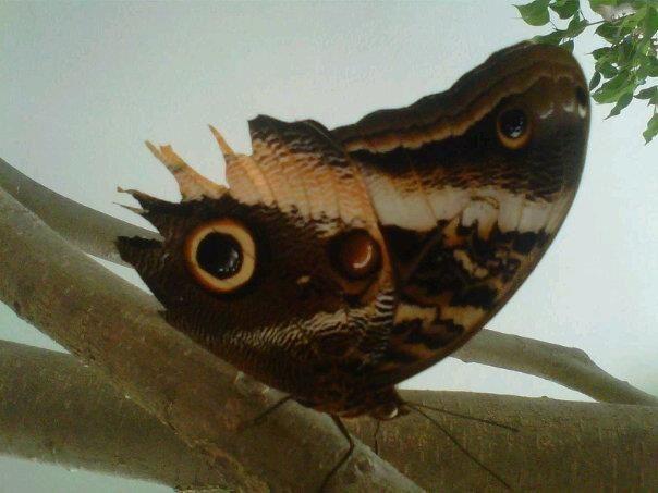 Ojo mariposa