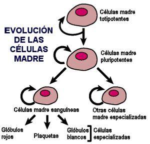 Evolución de las células madre