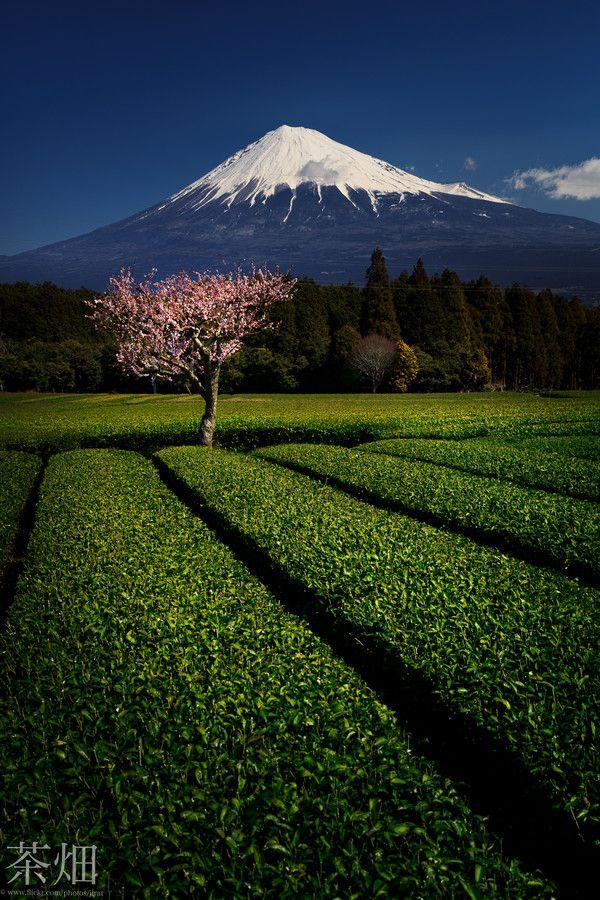 Mt. Fuji and Green Tea Farm, Shizuoka, Japan...  My kind of heaven! I'd love to visit one day:)